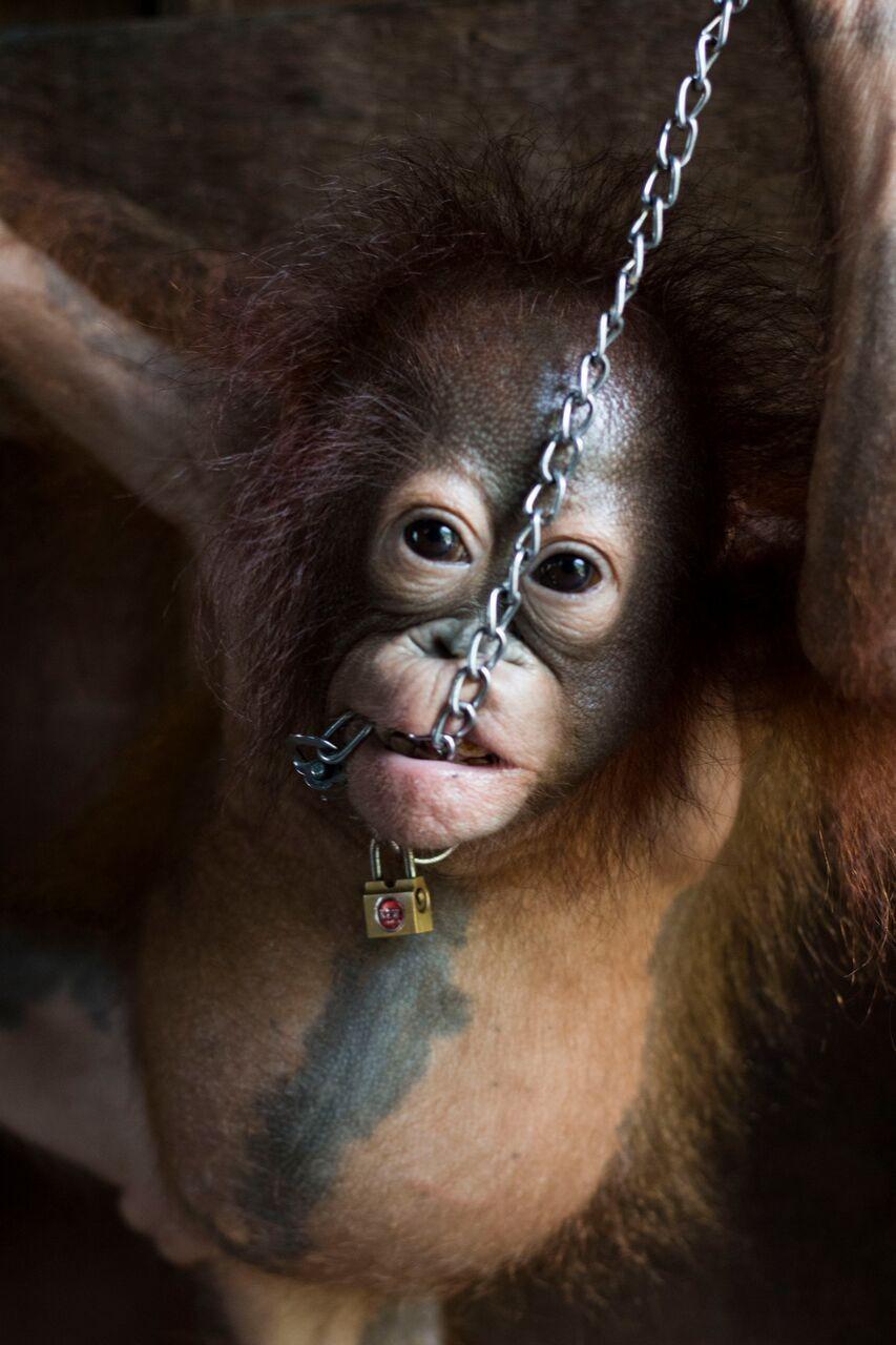 bébé-orang-outan-enchaîné-cuisine-4