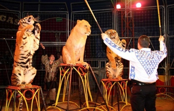 cirque-lionnes-las-vegas-1