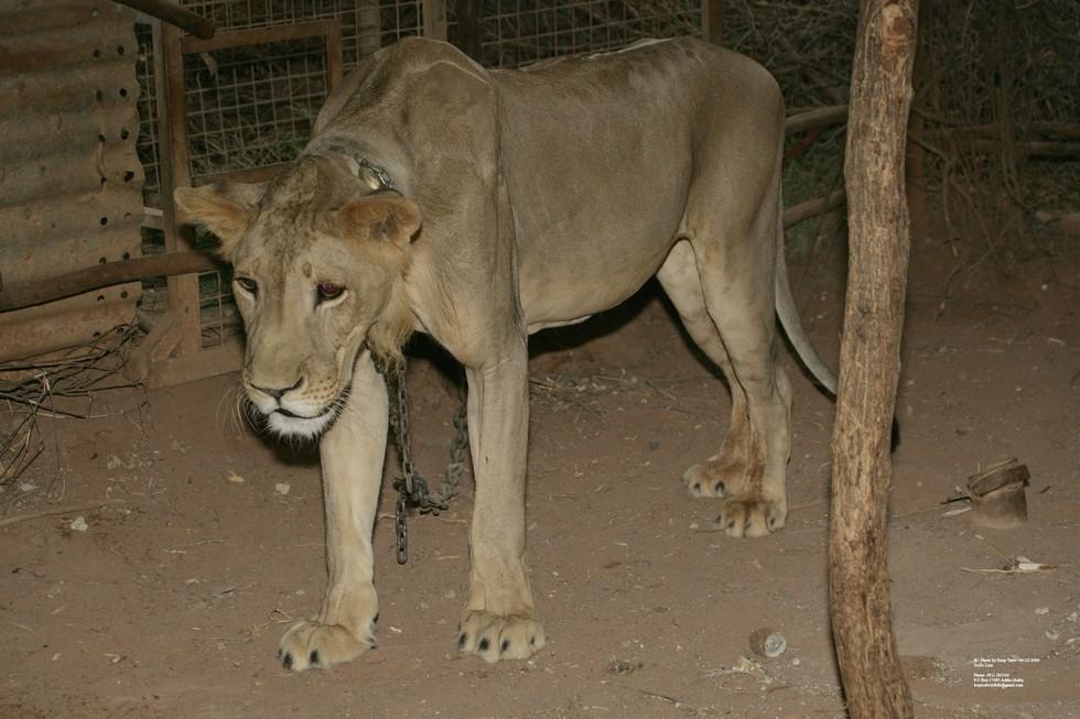 dolo-lion-1