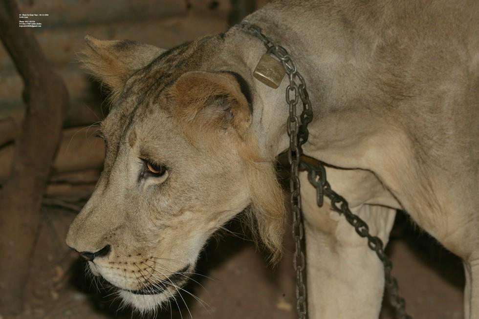 dolo-lion-2
