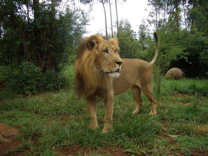 dolo-lion-7