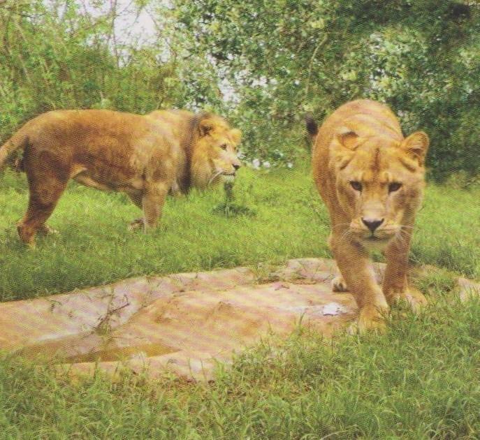 dolo-lion-8