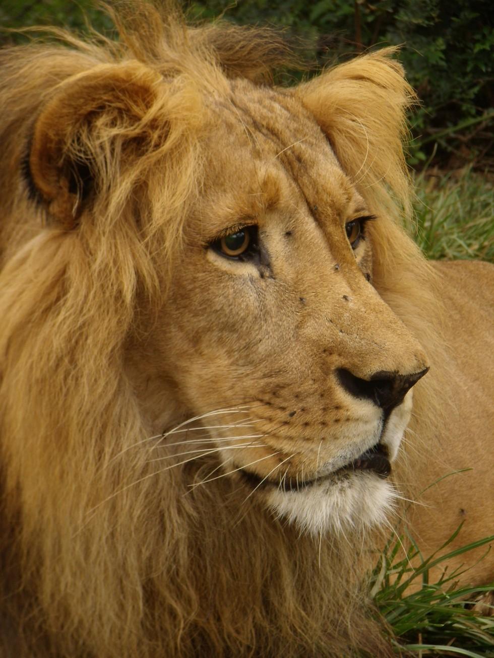 dolo-lion-9