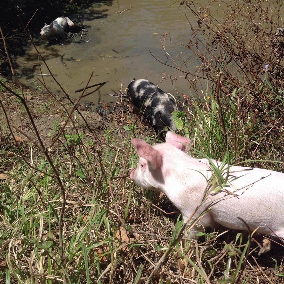 dreamy-cochon-sanctuaire-australie-3