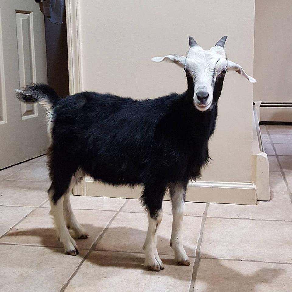 grace-goat-12