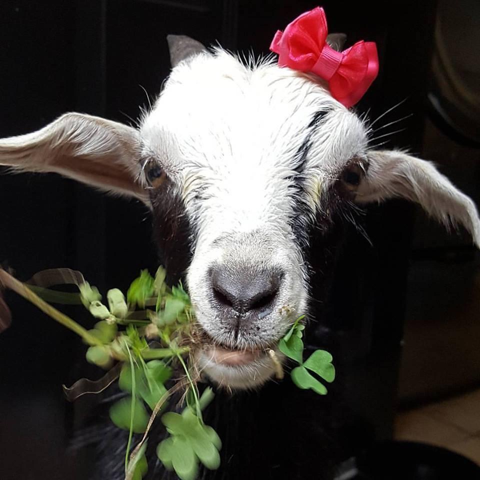 grace-goat-2