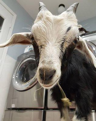 grace-goat-7