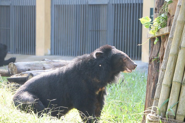 kujira-ours-ferme-bile-4