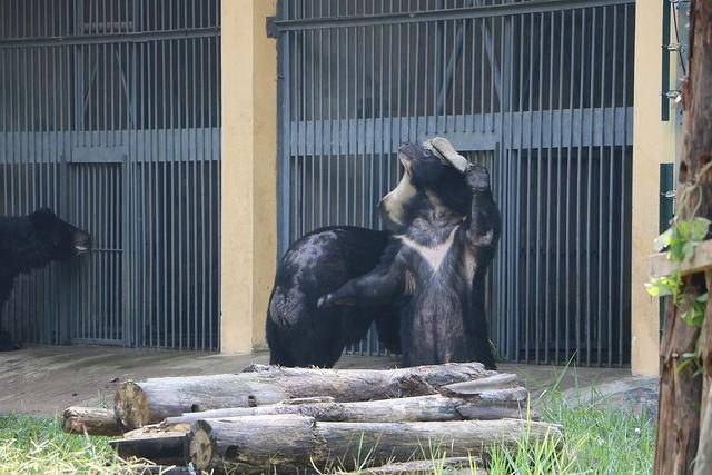 kujira-ours-ferme-bile-5