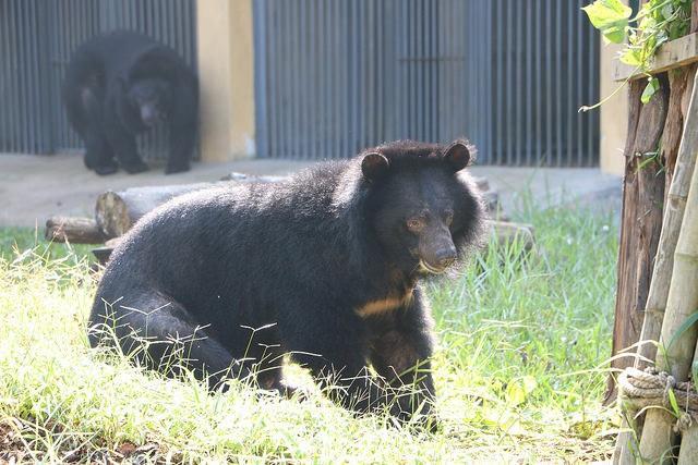 kujira-ours-ferme-bile-6