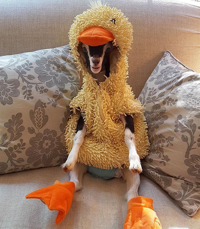 polly-chevre-axiete-costume-canard-2