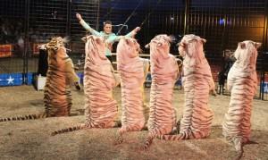 tigres-cirques-accident-1