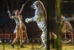 tigres-cirques-accident-4