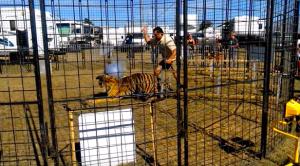 tigres-cirques-accident-8