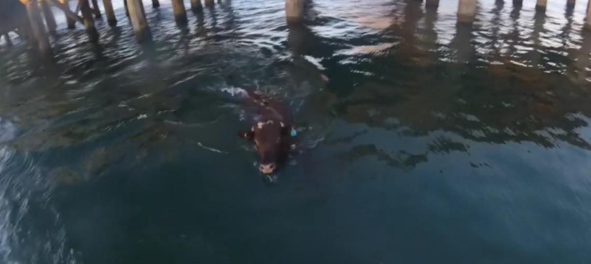 vache-eau-bateau-australie-4