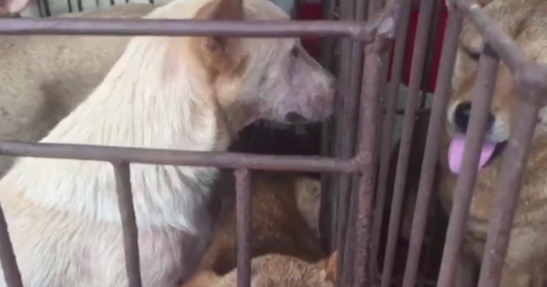 HSI-chiens-sauvetage-yulin-canada-1