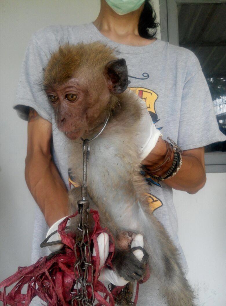 almond-macaque-crabier-battu-bali-4