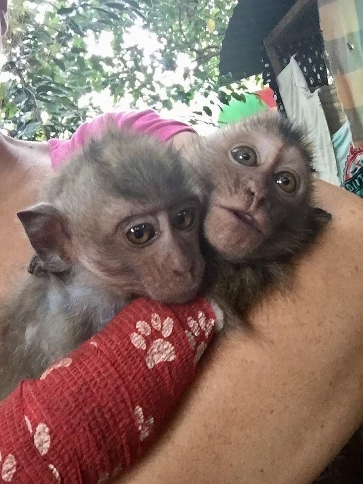 almond-macaque-crabier-battu-bali-8
