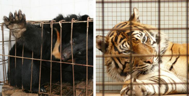 ferme-bile-ours-elevage-tigre-laos-1