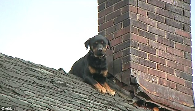 isis-rottweiler-1