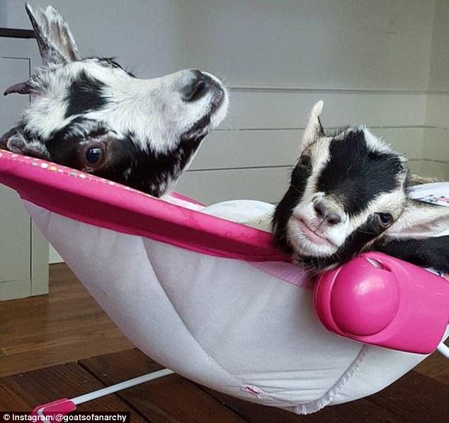 leanne-goats-2