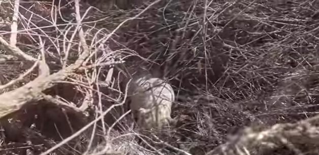 tarzan-sauvetage-chien-buisson-1
