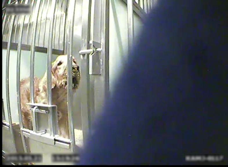 telethon-chiens-cobayes-PETA-2