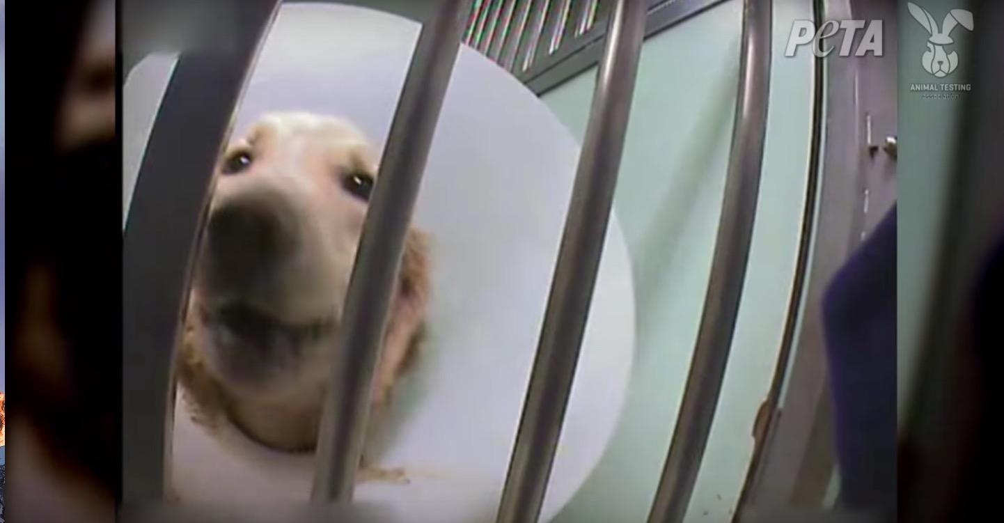 telethon-chiens-cobayes-PETA-8