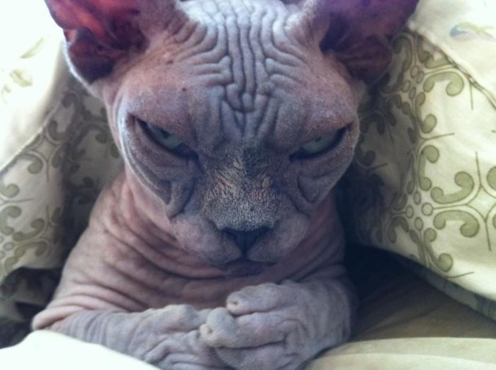 angriest-cats-6