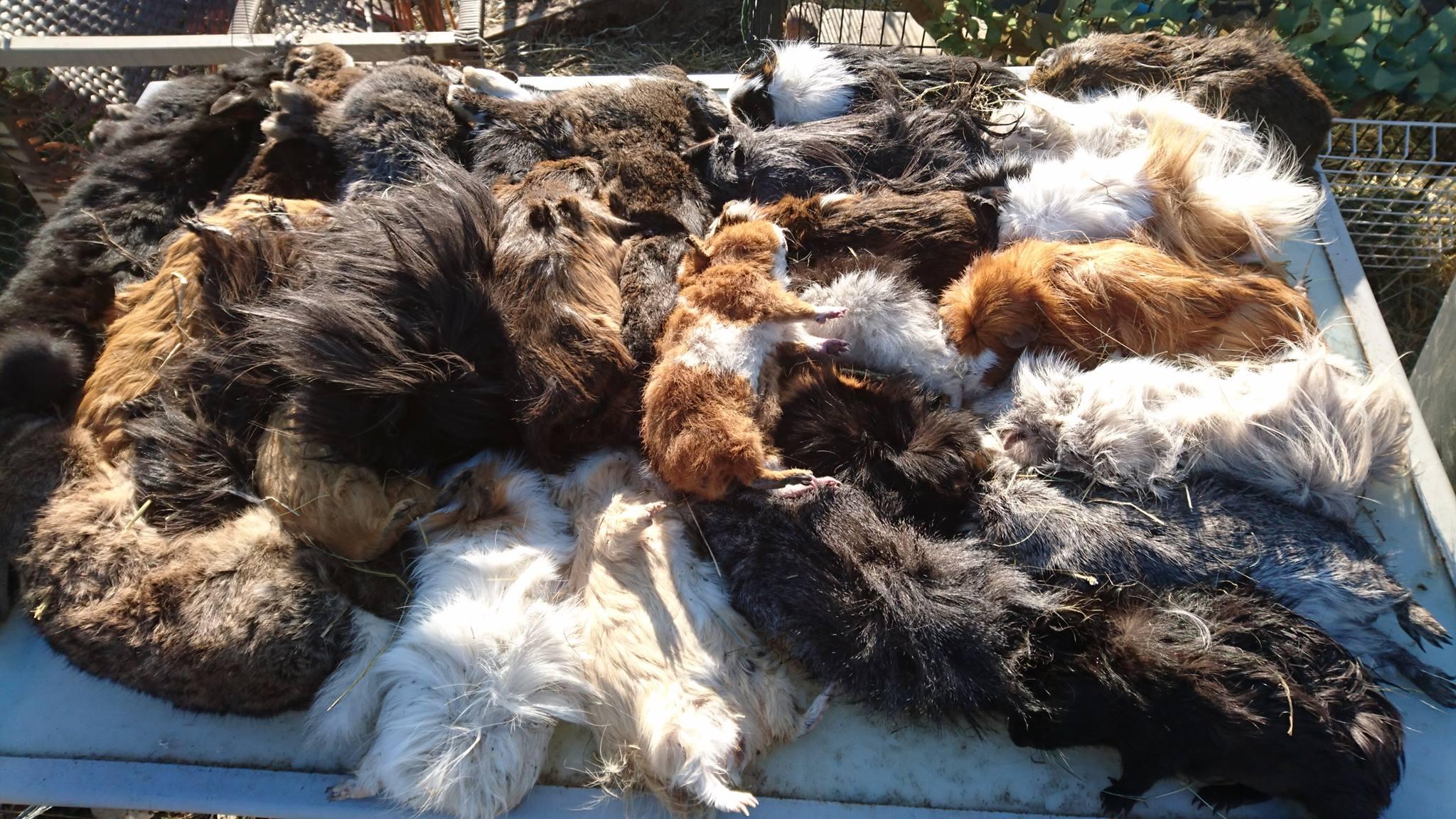 cochons-d-inde-massacre-ferme-doudou-1