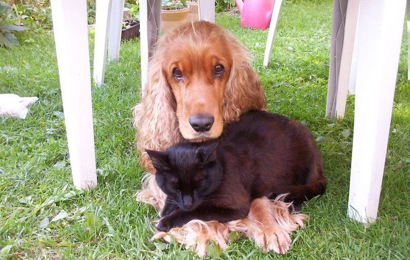 cute-coker-spaniel-black-cat
