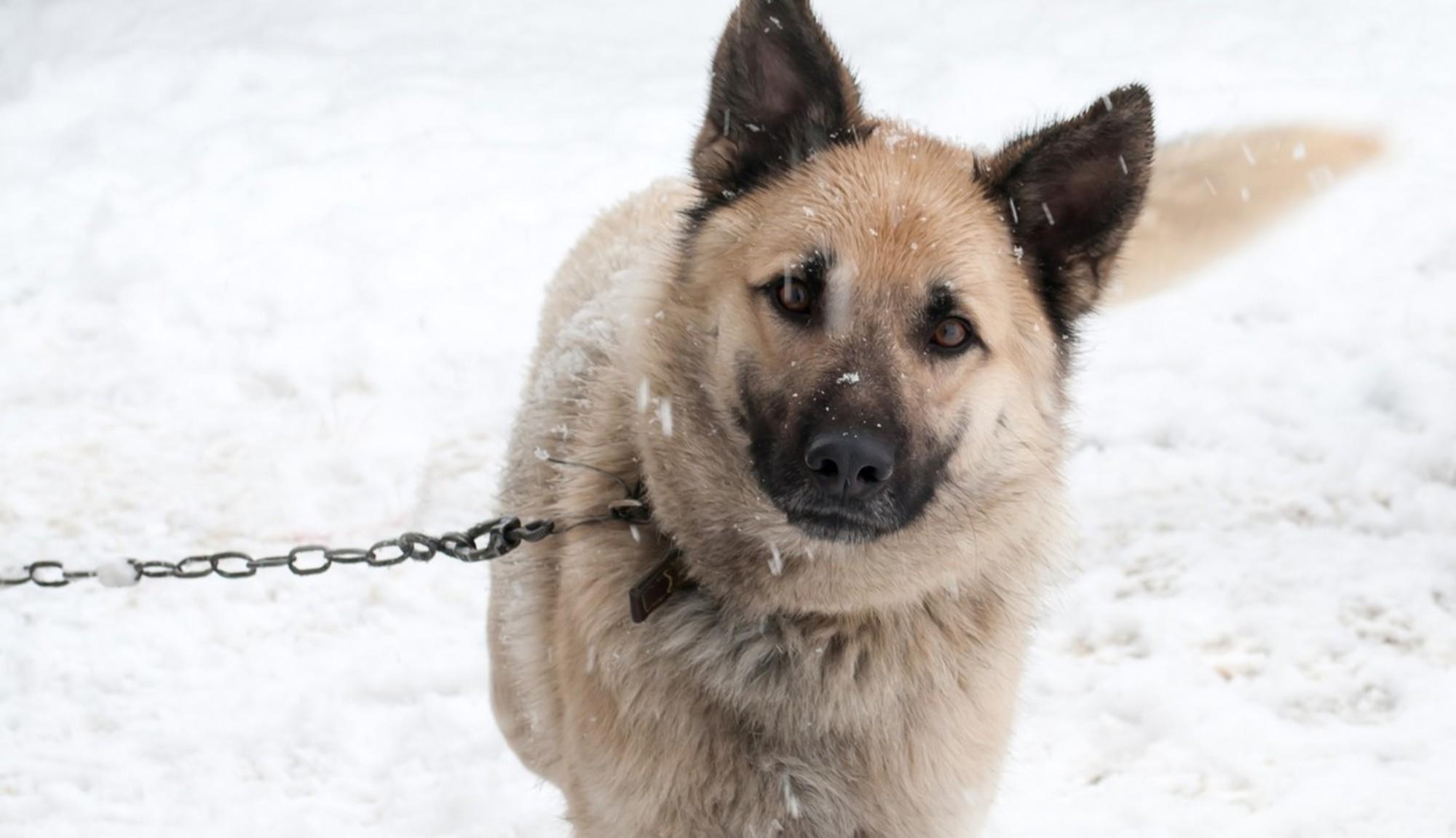 dog-chain-cold-3