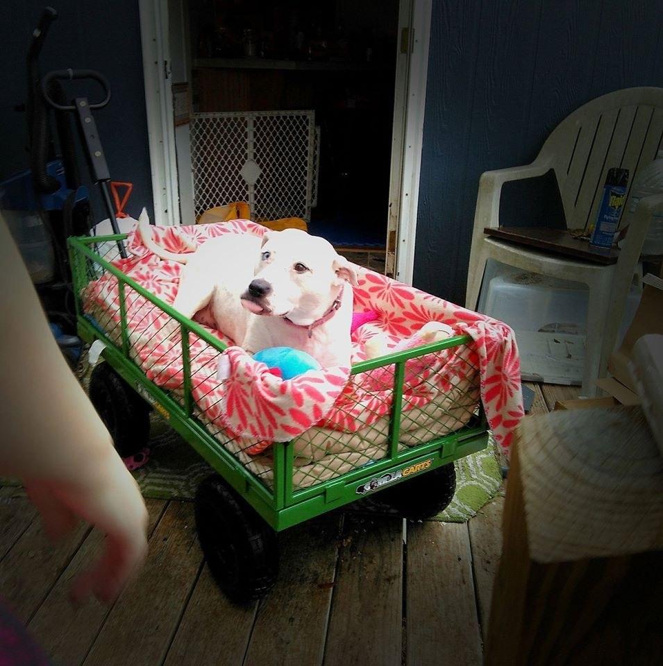 lady-cherie-chienne-handicap-wagon-8