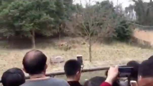 zoo-chine- Youngor-tigre-attaque-2
