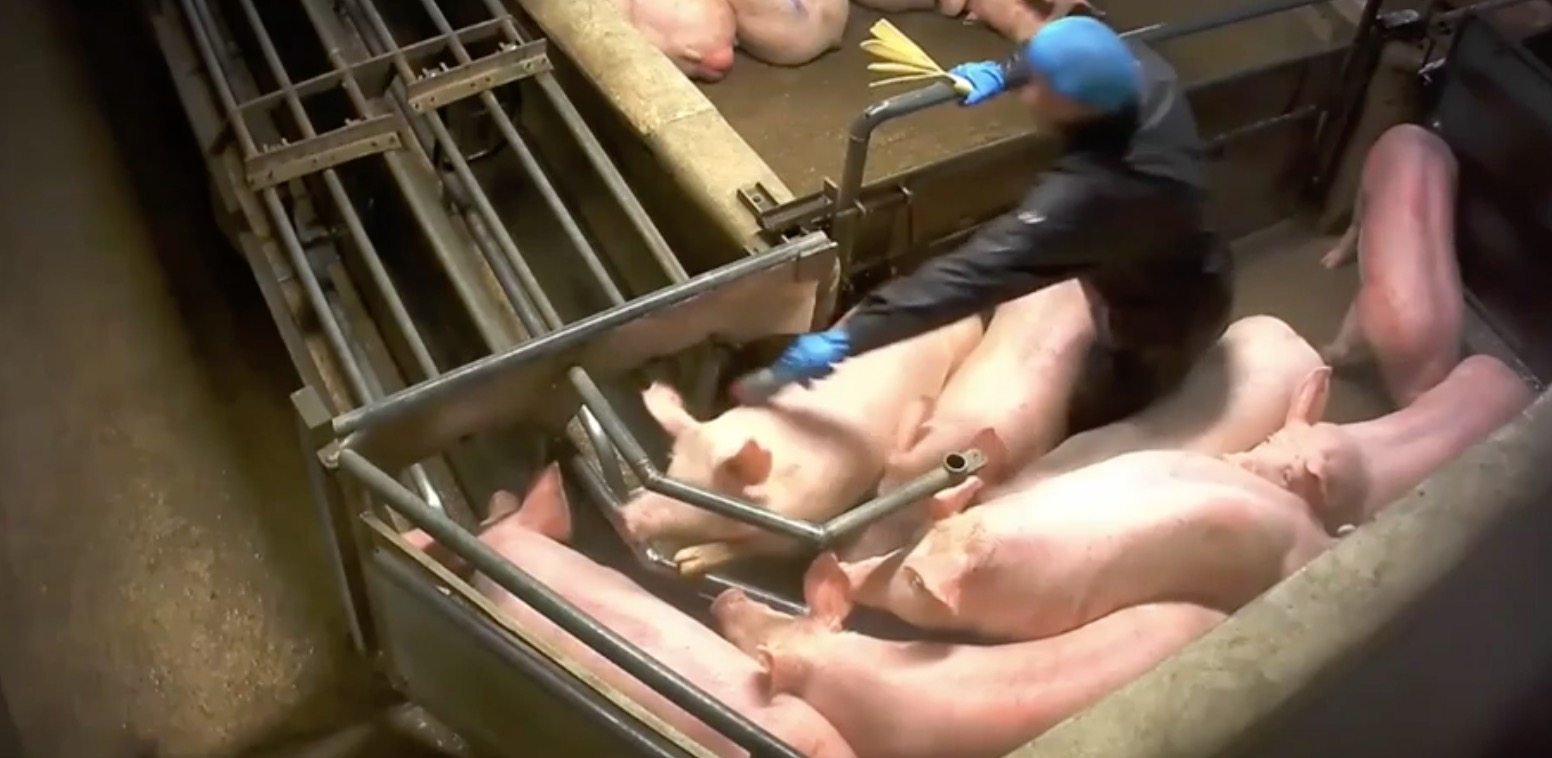 L214-cochon-abattoir-houdan-2