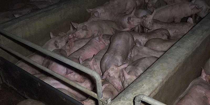 L214-cochon-abattoir-houdan-4