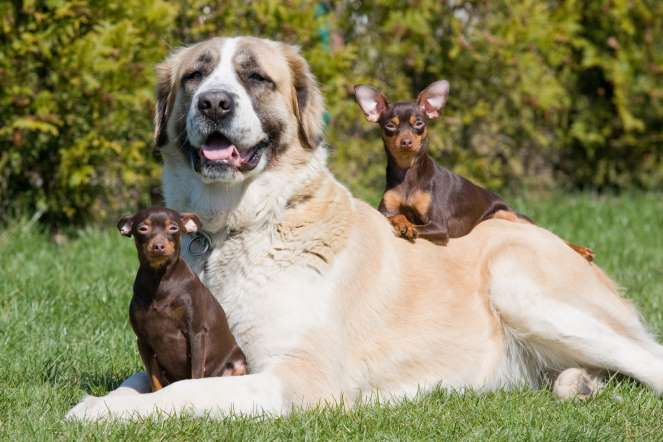 big-dogs-age-faster-1