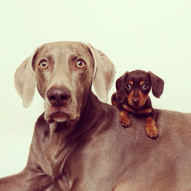 big-dogs-age-faster-3