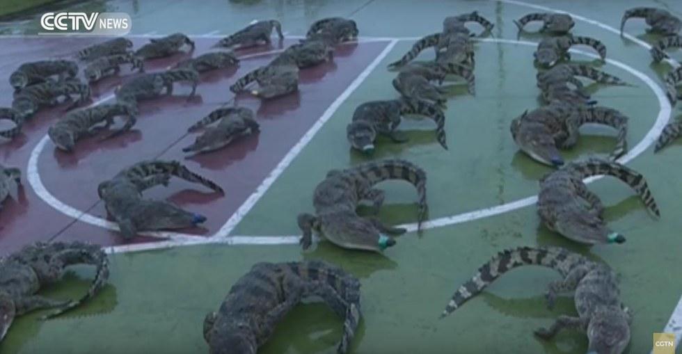 crocodiles-congeles-vietnam-1