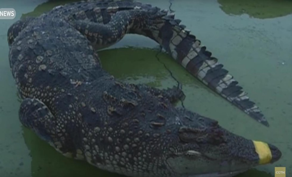 crocodiles-congeles-vietnam-2