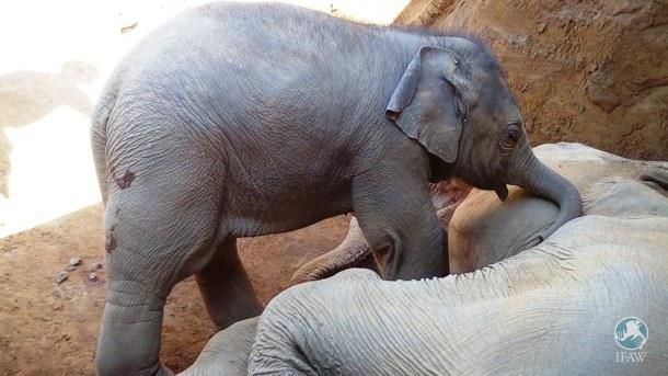 elephanteau-chute-fosse-1