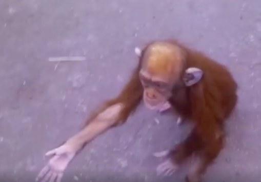 mado-chimp-1