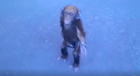 mado-chimp-2