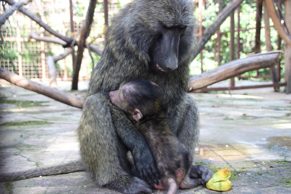 missa-babouin-RDC-orphelin-4