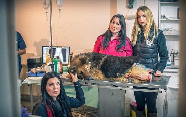 spirit-bucarest-chien-berger-allemand-maltraitance-2
