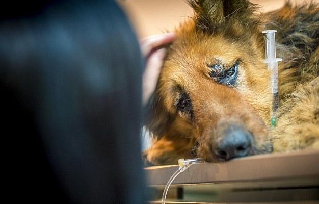 spirit-bucarest-chien-berger-allemand-maltraitance-4