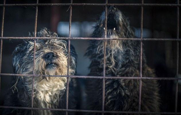 spirit-bucarest-chien-berger-allemand-maltraitance-7