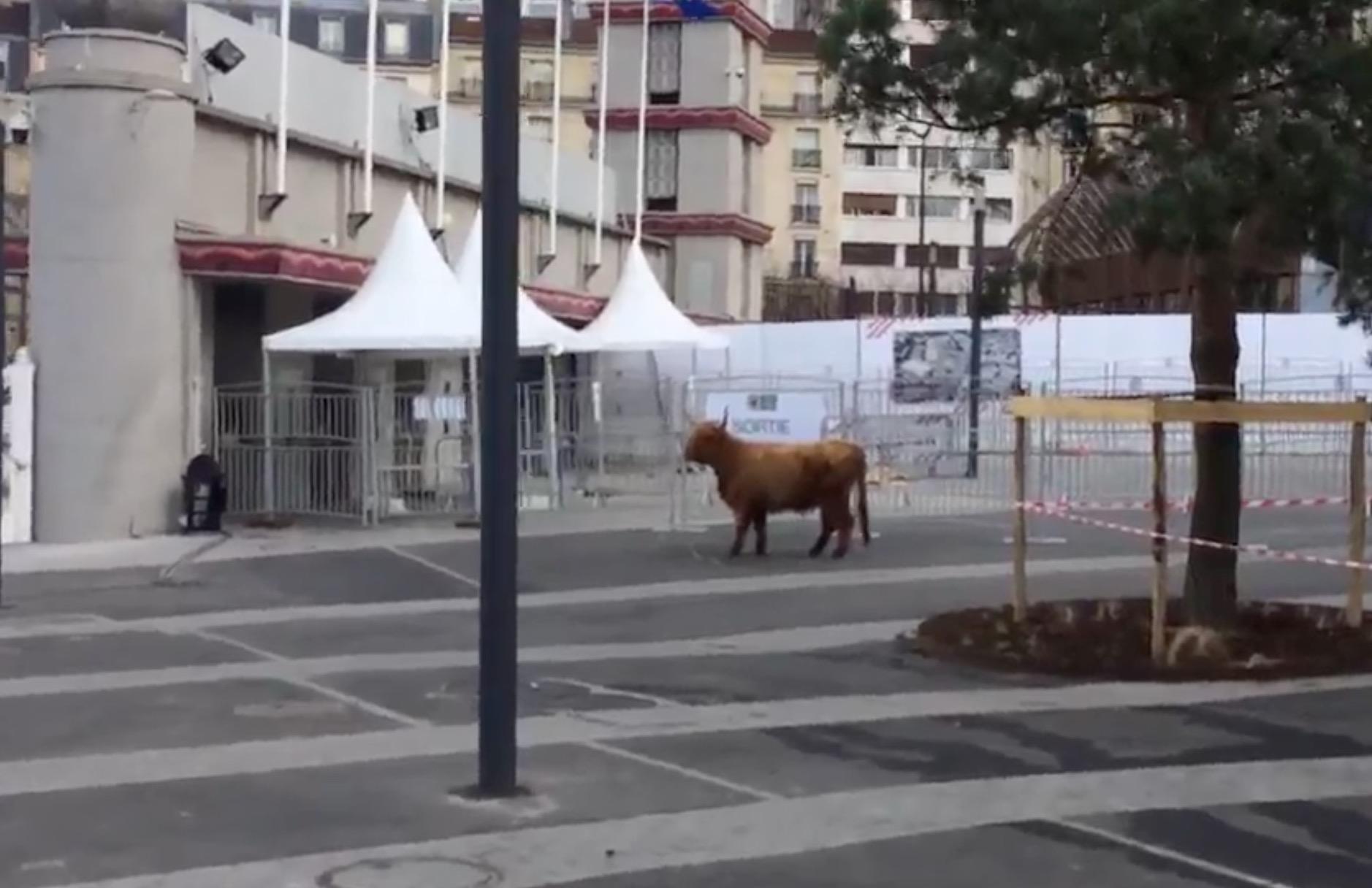 vache-indienne-salon-agriculture-9