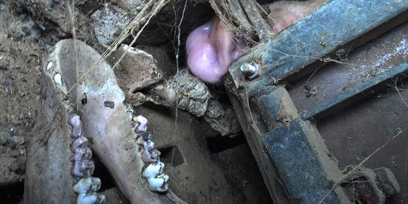 L214-cochon-bretagne-elevage-2