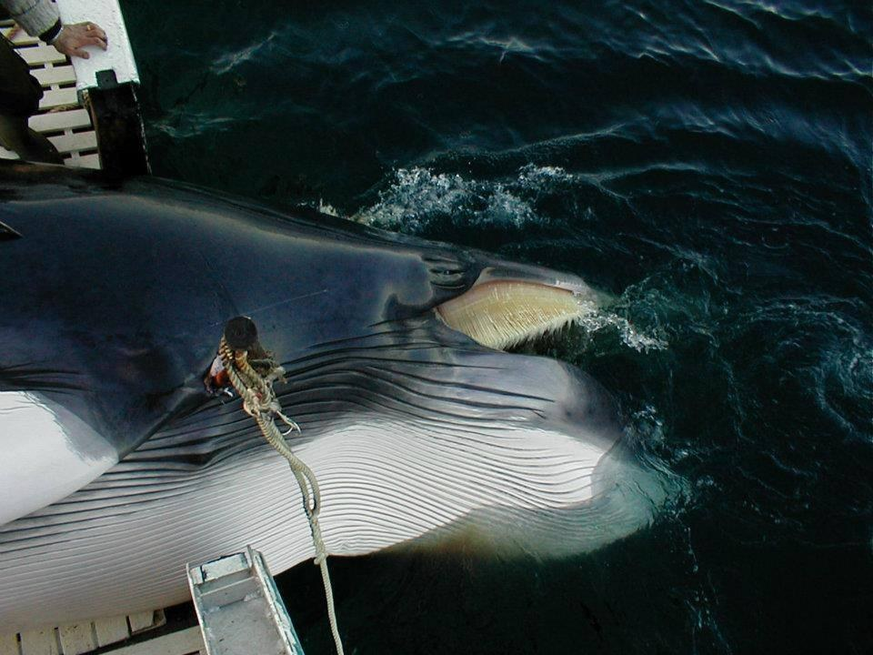 whale-hunting-norway- (3)